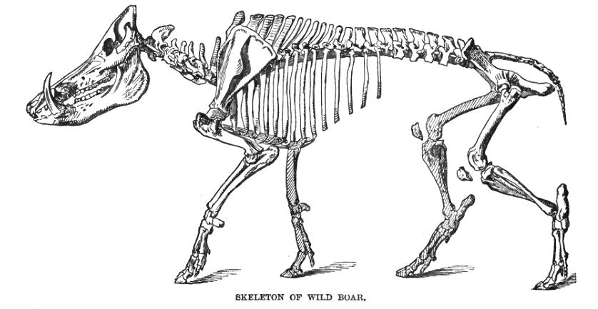 hog skeleton drawing